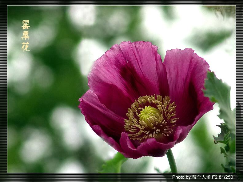 彩色写实【罂粟花】美女第一个纹身