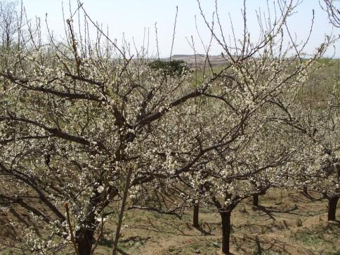 李子树从小长大开花到结果
