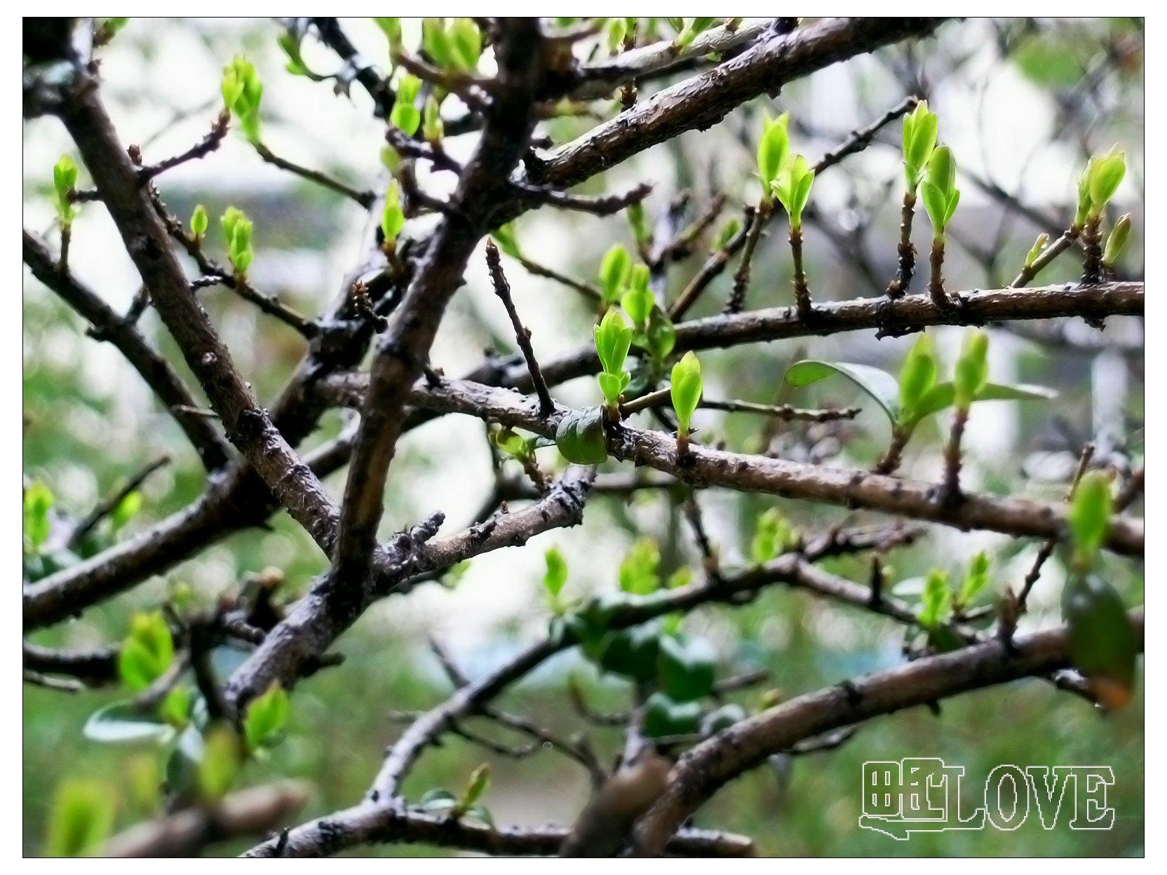 我家一桩5年的杨树盆景新芽冒绿