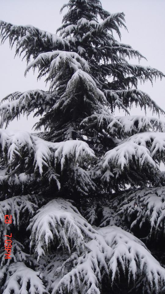 大雪压青松 精彩贴图