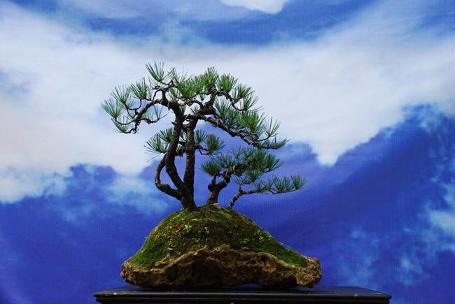 松树盆景图片 大师