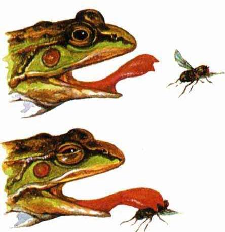 简笔画池塘里的青蛙是什么
