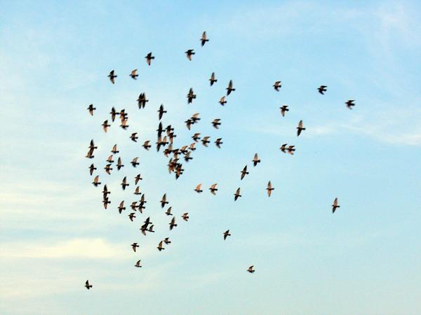 大雁蓝天飞翔摄影图