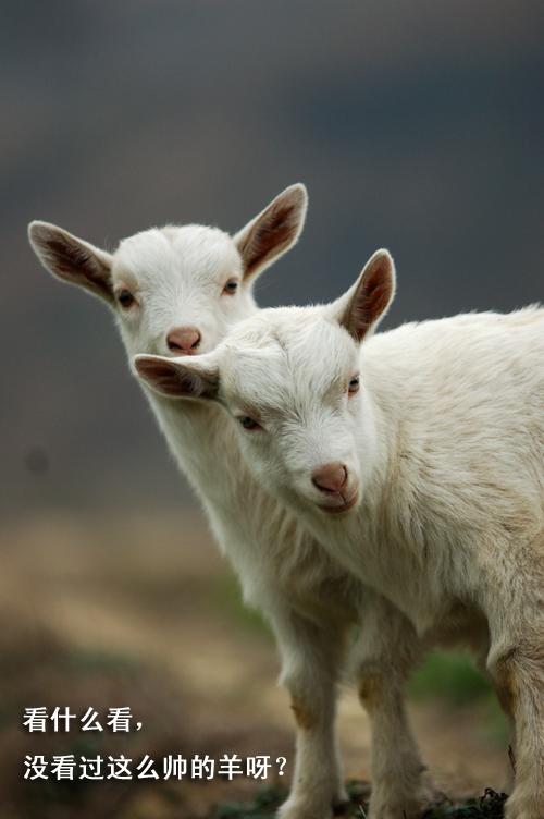 快乐动物1——山羊也疯狂:)