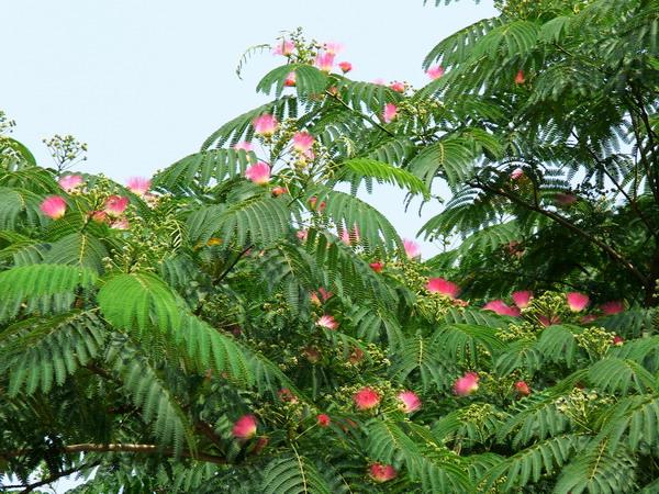 [天马原创]合欢树开花红绒绒