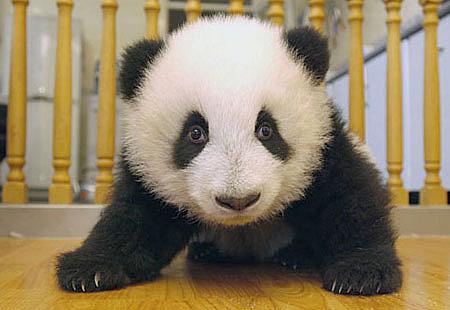 可爱的大熊猫 --- 从出生到长大全过程