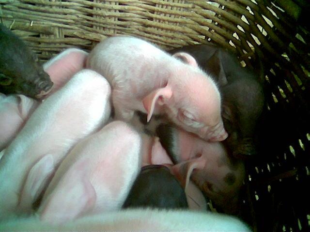 刚出生的小猪