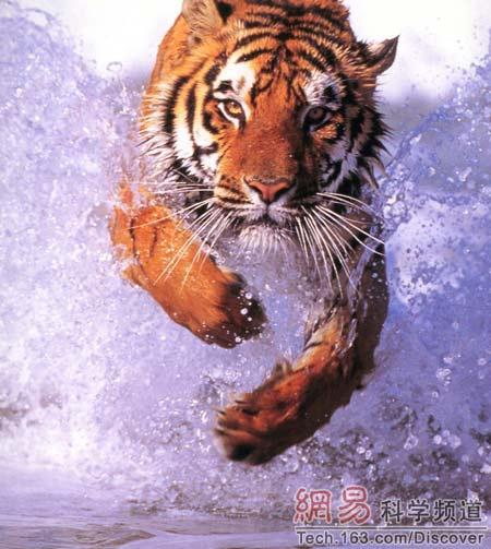 老虎是最大的猫科动物