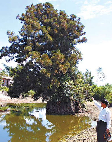 千年古老水松葳蕤在水一方树高18
