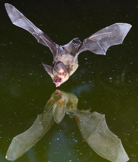摄影师拍下蝙蝠饮水画面