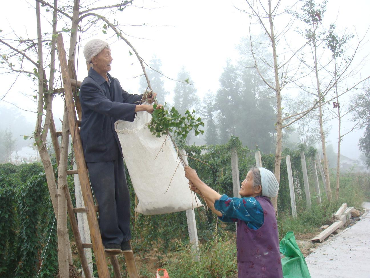 用银杏树叶做粘贴画-73岁老人采摘银杏叶做零花钱  ( 爬上路边的银杏树开