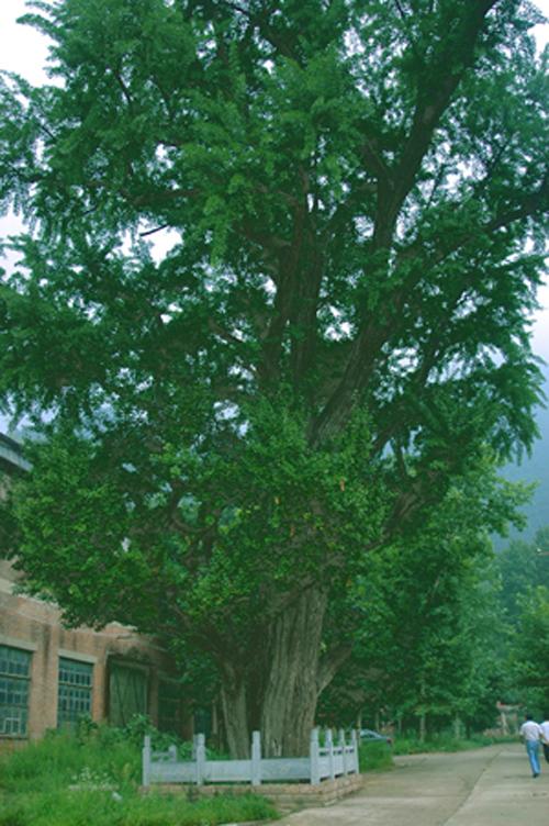 王维手植银杏树